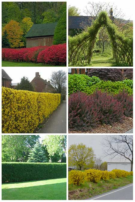 12 Beautiful Living Fences For Your Garden
