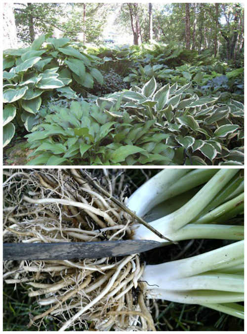 How To Successfully Divide Transplant Hostas In Your Yard Diy